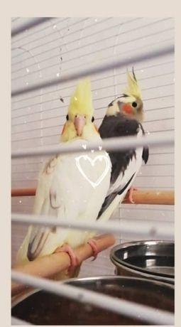 Попугай корелла Херсон-Великие Копани