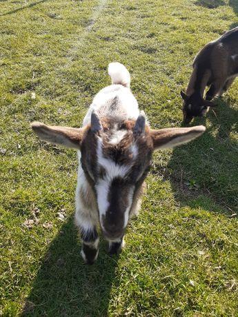 Kozy miniaturki, kozy karłowate