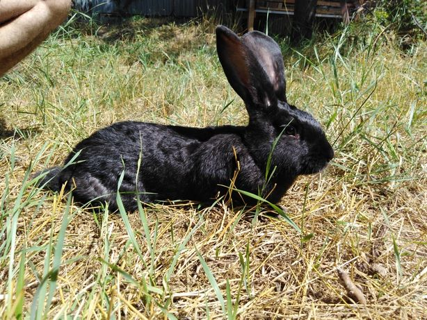 Кролики для мяса и породы