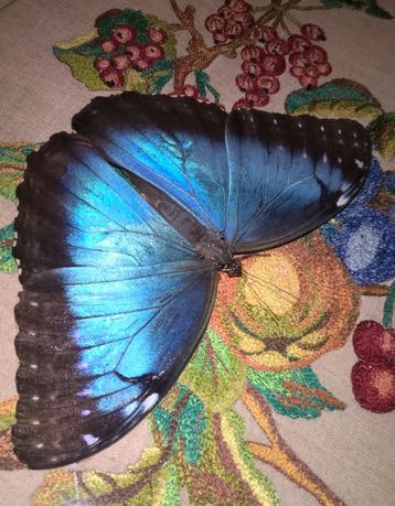 Живые Бабочки и Куколки бабочек