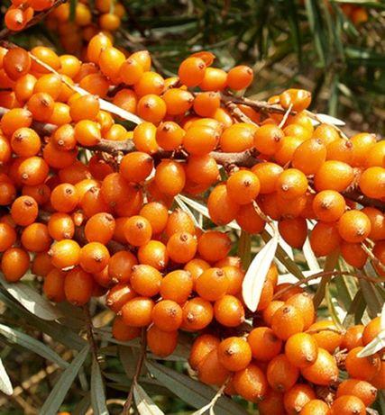 Rokitnik 3 letnie Duże sadzonki 50 -60 cm ! - owocujący - Moc witamin