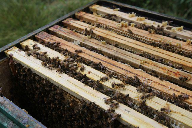 Sprzedam rodziny pszczele pszczoły krainka ramka wielkopolska