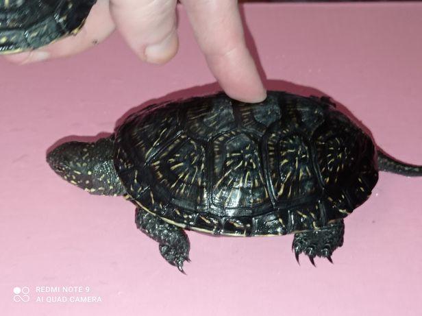 Комплект: черепаха около 12см + террариум. Доставка по Украине