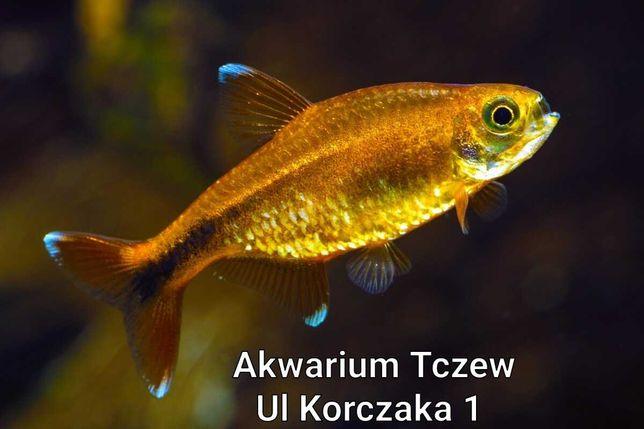Miedzik obrzeżony ul Korczaka 1 Tczew