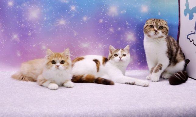 Очаровательные шотландские котятки