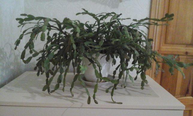 Декабрист (диаметр растения 80см)