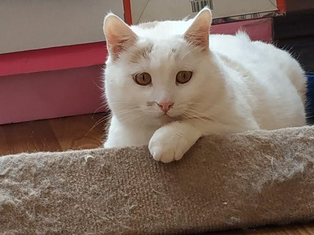 Отдам бело-рыжего кота, 2 года ,кастрирован ,привит