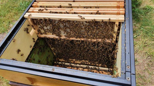 Silne rodziny pszczele na 10 ramkach
