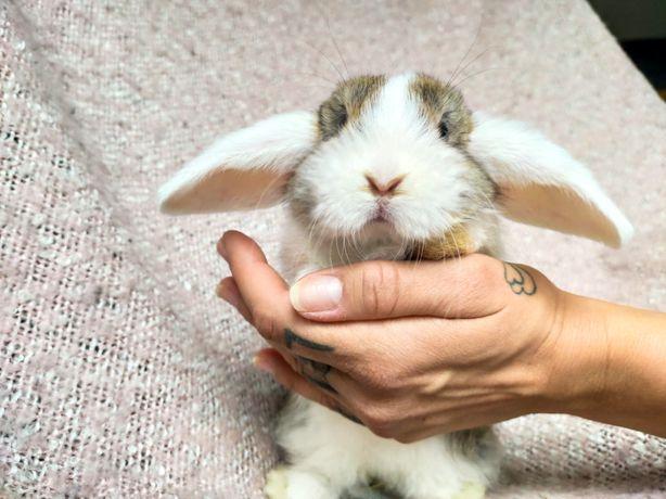 Królik króliczki króliczek Mini Lop miniaturka