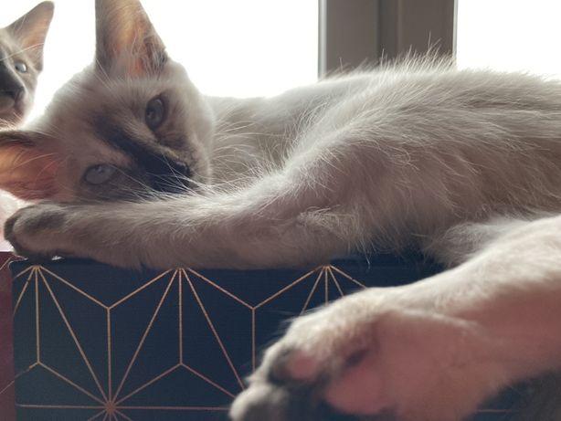 Antyalergiczne kotki balijskie