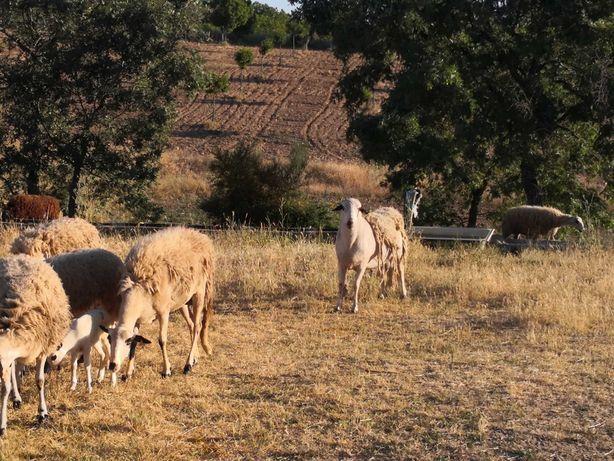 Vendo Ovelhas Churras Galegas Transmontanas