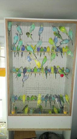 Продам молодёжь волнистых попугаев для детей и друзей