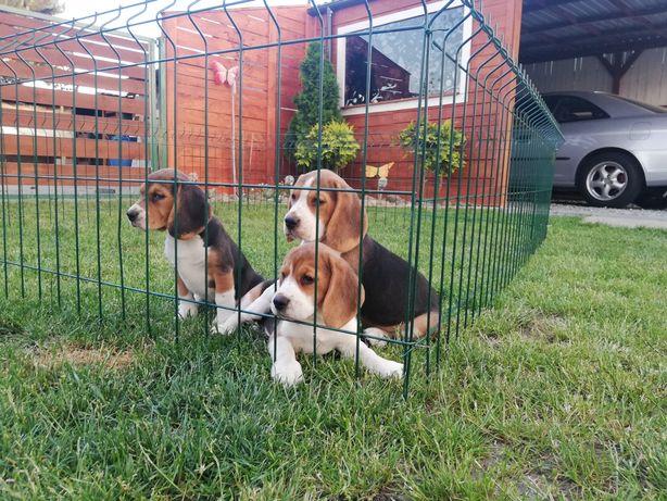 Szczeniaki Beagle tricolor