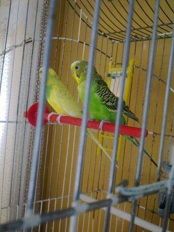 Продам пару волнистых попугаев
