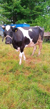 Krowa i cielak jałówka