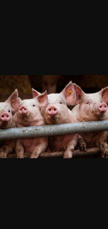 Продам свині живою та битою вагою