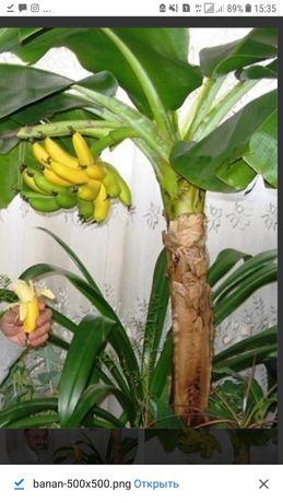Банан киевский супер карлик