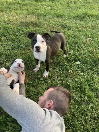 OSTATNI SZCZENIAK American Staffordshire Terrier