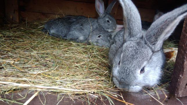 Młode królik Belg Olbrzymi  BOS