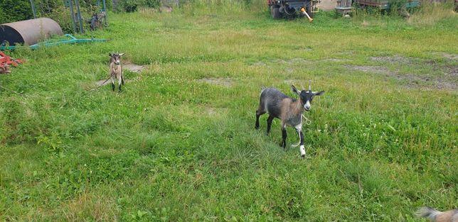 Kozy. Małe kozy, koźlątka