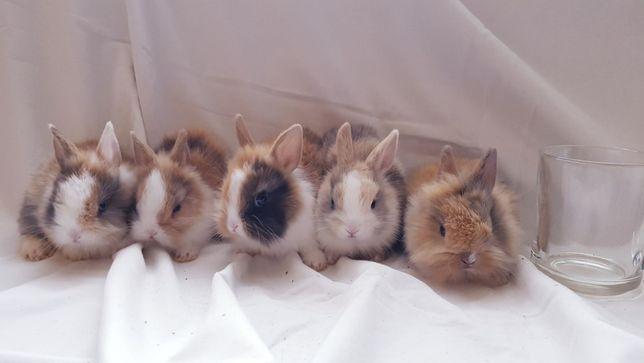 Malutkie Maleństwa Królik króliki miniaturka miniaturki zarej. hodowla