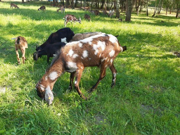 Koza kozioł cap mlodzież i starsze anglonubijskie i alpejskie