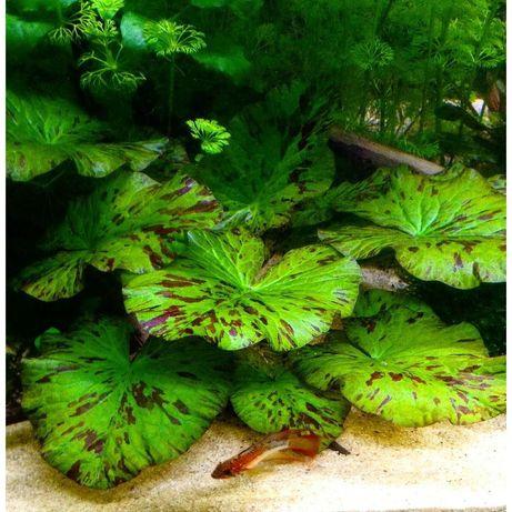 Lotos Tygrysi (zielony)