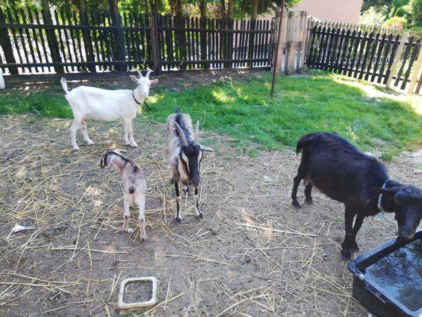Eko Mleko kozie sprzedam
