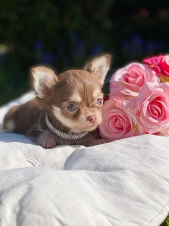 Chihuahua mini Lux suczka czekoladowa