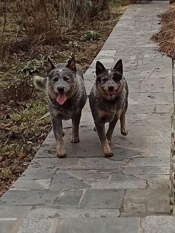 пропала собака в городе Умань