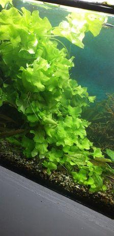 Lotos roślinka do akwarium