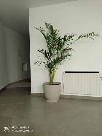 Planta natural com +/-1,80m