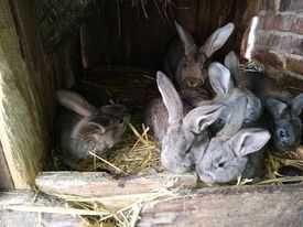 Młode króliki 2021