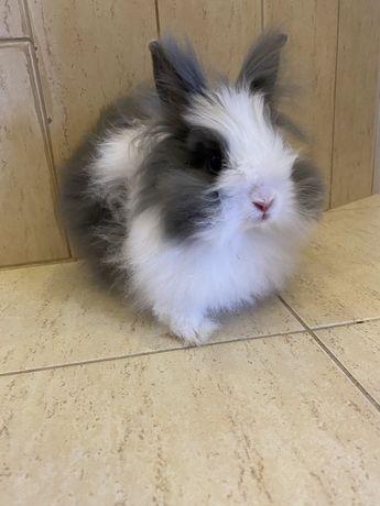 Sprzedam królika miniaturkę w dobre ręce.