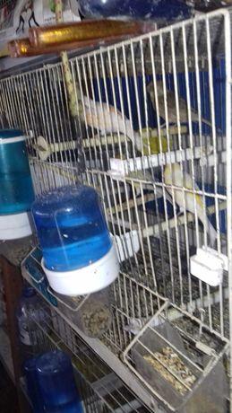 Canarios e gaiolas duplas