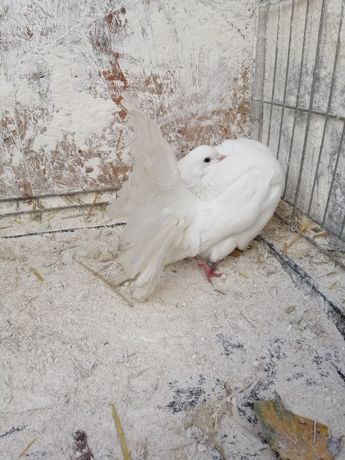 Pawik samiec nowy typ