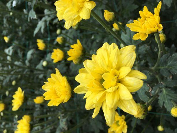 Хризантемы веточные