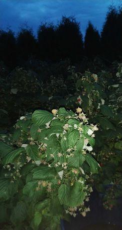 Maliny z działki owoce