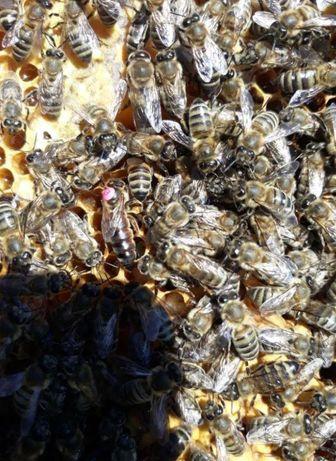 Матки бджолині Плодні та Не плодні Продаю Меченые порода Карпатка