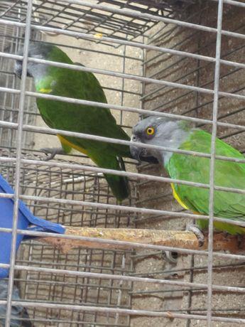 Продам сингальского попугая