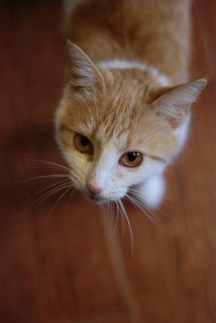 Ruda - młoda biało ruda koteczka do adopcji