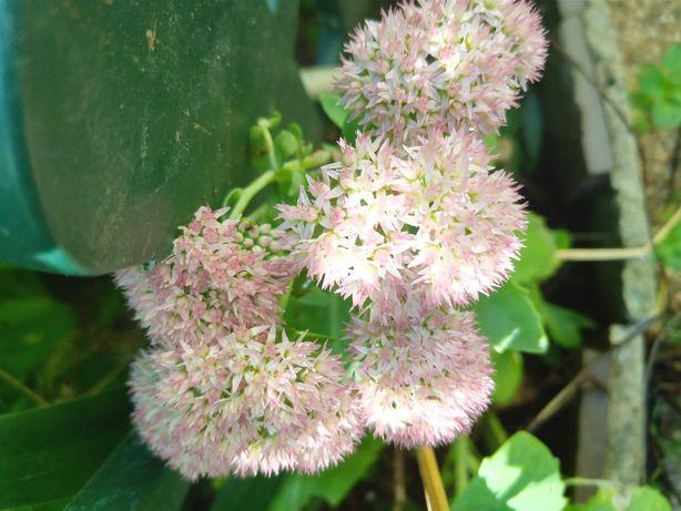 """Flores de """"Nossa Senhora"""""""