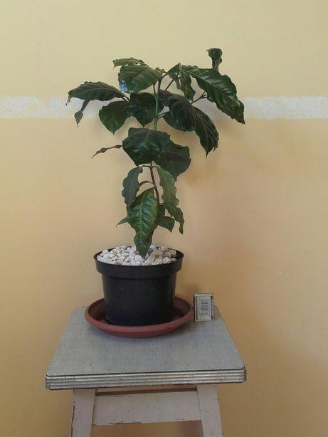 Sadzonka drzewko kawa
