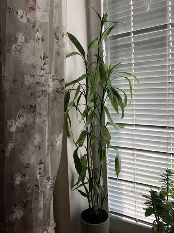 Бамбук растение