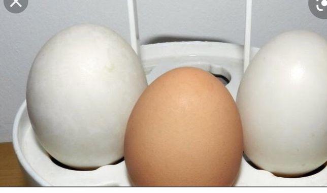 Jaja jajka kacze kurze pekinka fracuskie do legu lub jedzenia