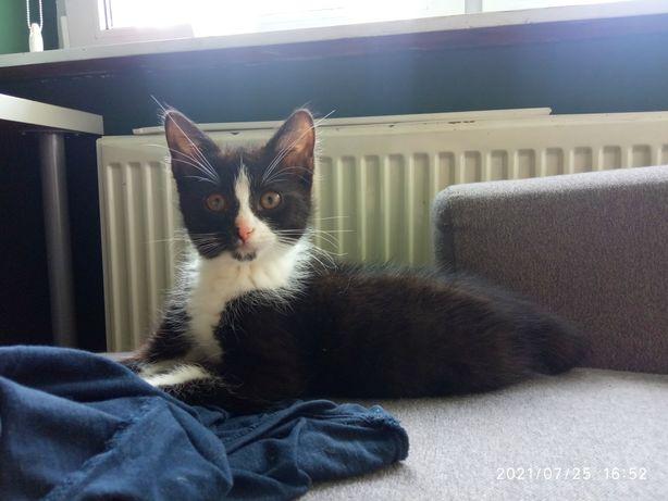 Kociak kot do adopcji
