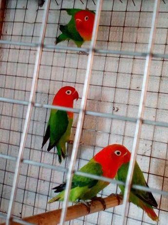 Agarponis desponives opalinos aves 2021