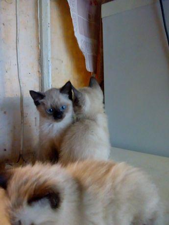 Продам сиамских котиков.