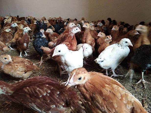 Młode kury, nioski 6-22 tyg, kurki, kurczeta, sprzedaż