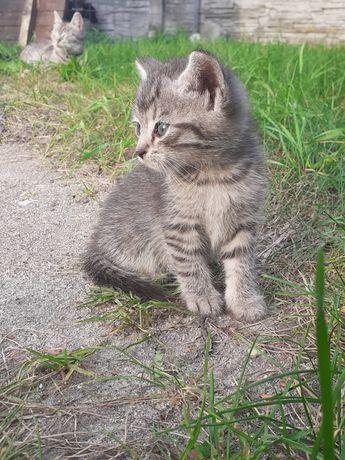 Oddam dwu miesięczne kotki